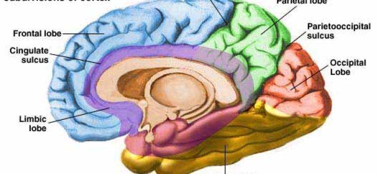 Obesidade causa alteração no córtex cerebral, diz pesquisa
